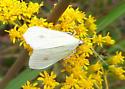 Sitochroa Moth? - Sitochroa palealis