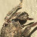 Vegetable Weevil - Listroderes difficilis