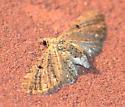 Common Eupithecia A - Eupithecia miserulata