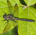 another clubtail - Phanogomphus descriptus