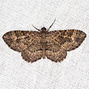 Somber Carpet Moth - Hodges #7417 - Disclisioprocta stellata