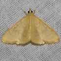 Hodges#4973.1 - Ecpyrrhorrhoe puralis