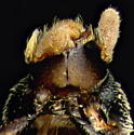 Scolytinae, fuzzy antennae, ventral - Chramesus chapuisii
