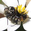 Andrenidae - Andrena carlini - male - female