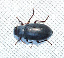 Bluish Teneb - Chilometopon helopioides