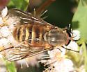 Tabanid - Stonemyia tranquilla - female