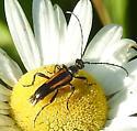 Long-horn flower Beetle ? - Strangalepta abbreviata