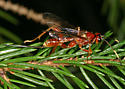 Wasp 4398 - Spilopteron vicinum - female