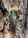 Tibicen cultriformis - Megatibicen cultriformis - female