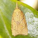 Reticulated Fruitworm - Hodges#3720 - Cenopis reticulatana