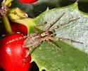 unidentified spider - Hibana