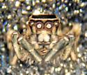 Habronattus male - Habronattus formosus - male