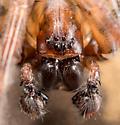 Coras lamellosus - male