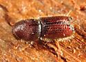 Scolytin - Orthotomicus caelatus