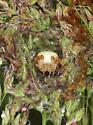 Shamrock Orbweaver (juvenile) in retreat - Araneus trifolium