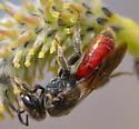 Sphecodes sp. blood bee - Sphecodes