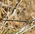 Dragonfly - Phanogomphus oklahomensis