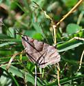 moth Species? - Caenurgina crassiuscula