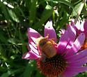 Albino Honeybee? - Xylocopa varipuncta - male