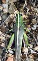 Obscure Bird Grasshopper - Schistocerca lineata - female