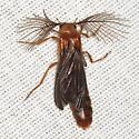 Glowworm Beetle - Phengodes - male