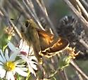 Skipper on Hairy Asters - Atalopedes campestris