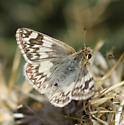 Northern White Skipper - Heliopetes ericetorum - female