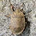 Bug - Menecles insertus
