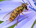 Fly on Chicory - Eupeodes