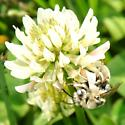 fuzzy gray bee on white sweet clover - Melissodes