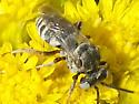 small wasp - Epeolus minimus