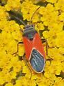 Red Bug - Melanopleurus belfragei