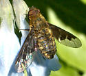 Bee Fly? - Hemipenthes