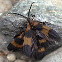 Net-winged Beetles - Calopteron - male - female
