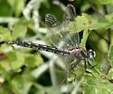 Beaverpond Clubtail - Phanogomphus borealis - female