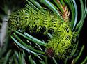 Zephyr Eyed Silkmoth larva - Automeris zephyria