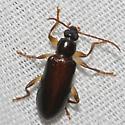 Beetle unknown - Statira basalis