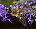 Andrenidae or Apidae? - Apis mellifera