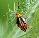 Four-lined Plant Bug - imm. - Poecilocapsus lineatus