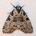 Unknown Maine Moth 3 - Leuconycta lepidula