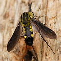 Black and yellow fly - Lepidophora lepidocera