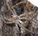 stone spider exuviae - Pardosa lapidicina