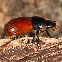 Dung Beetle? - Aphodius fimetarius