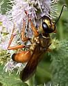 Yellow large wasp on spearmint - Sphex ichneumoneus - female