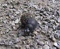 Dung Beetle (or Tumblebug?) - Deltochilum gibbosum