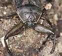 Coleoptera - Lethocerus americanus