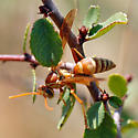 ID for a wasp? - Polistes apachus