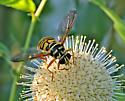 Yellow Jacket Hoverfly - Milesia virginiensis