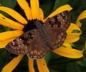 Horace's duskywing skipper - Erynnis horatius - female