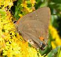 White M Hairstreak - Parrhasius m-album